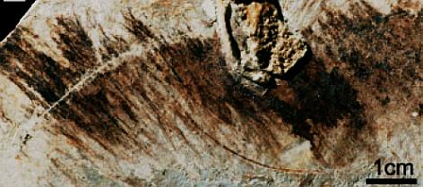 sinornithosaurus_feathers